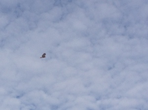 Meet new friends. Red tail hawk ( I believe) buddy loves doing fly overs.